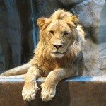 The MGM Lion